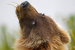 North American brown bear /  coastal grizzly bear (Ursus arctos horribilis) cub eating grass looking backwards, Lake Clark National Park, Alaska, United States of America