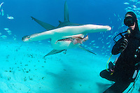 A Diver hand feeds a Great Hammerhead Shark<br /> <br /> Shot in Bahamas