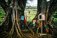 A small Hindu shrine set on the roots of two trees at a tea plantation,  Ella, Sri Lanka, Asia