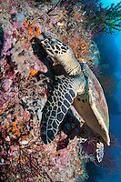 A Hawksbill Turtle browses for a meal of sponge or soft coral.<br /> <br /> Shot in Indonesia
