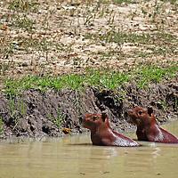 South America, Brazil, Pantanal. A pair of Capybara at a river bank in the Pantanal.
