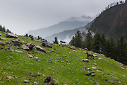Wild Horses grazing at Kheerganga in Parvati valley in Kullu, Himachal Pradesh, India