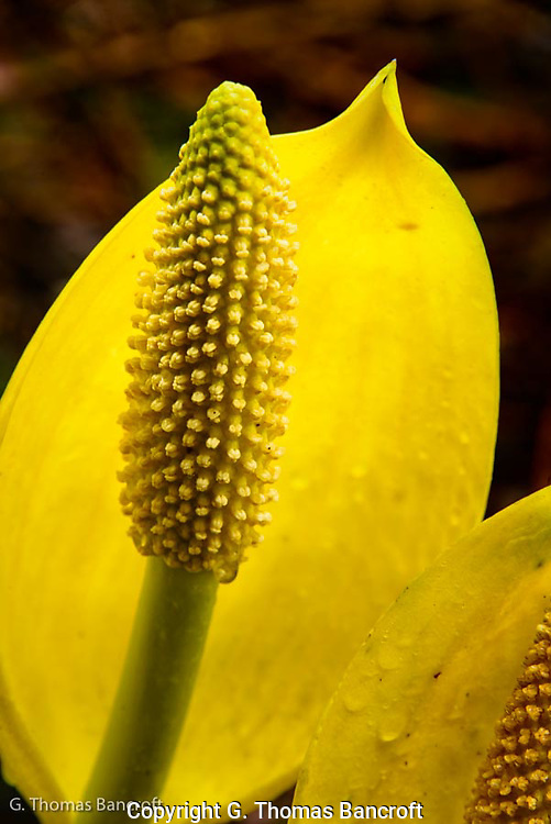 The flower stalk and yellow bract that partially surrounds the stalk form the flower on the Skunk Cabbage.