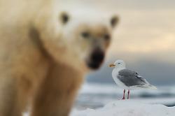 Polar bear (Ursus maritimus) and Glaucous gull (Larus hyperboreus) in Svalbard, Norway