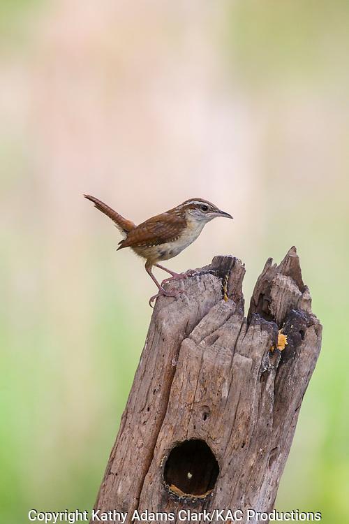 Carolina wren, perched, Comfort; Block Creek Natural Area; Texas; Kendall County; summer