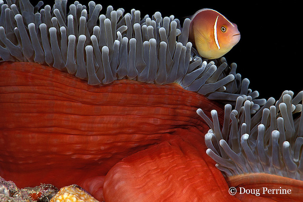 white-maned or pink anemonefish, Amphiprion perideraion, in magnificent sea anemone, Heteractis magnifica, Pixie Pinnacle, Ribbon Reefs, Great Barrier Reef, Australia