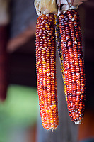 Dried seasonal corn on the cob being sold at a roadside farm stand.