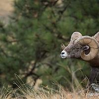 single bighorn ram