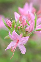Wild Pinxter Azalea (Rhododendron Periclymenoides) along Skyline Drive within Shenandoah National Park, Virginia.