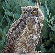 The Great Horned Owl, Bear Lake Utah