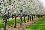 Apple orchard in bloom<br /> St. Catharines<br /> Ontario<br /> Canada