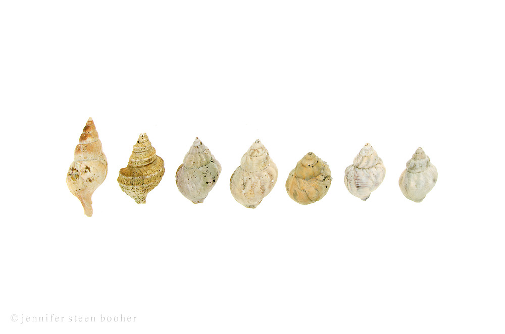 Seven whelk shells in a row on a white background, Maine. Waved Whelk (Buccinum undatum) and Dog Whelk (Nucella lapillus).