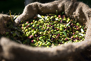 Pictured is a bag full of olives that have been gathered from the trees. The month of November is prime olive harvesting season on the Greek island of Crete . Commissioned by PR Media Co.