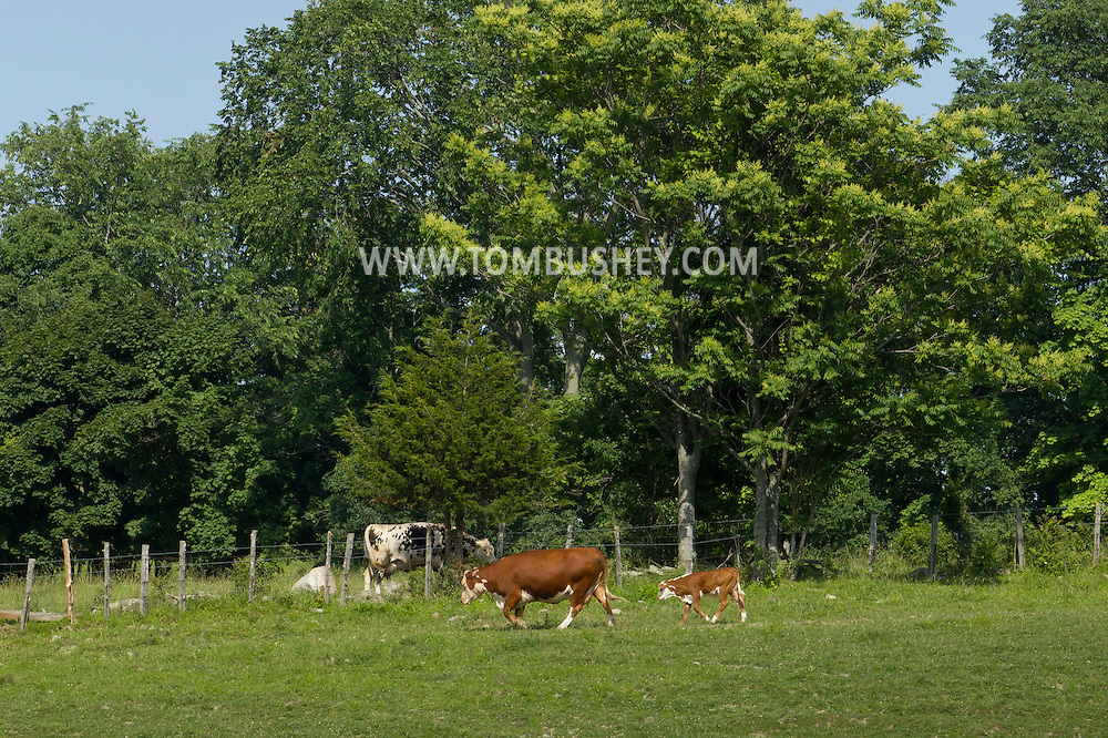 Goshen, New York - Cows in a farm field on June 22, 2014. ©Tom Bushey / The Image Works