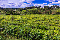 Tea plantations, near Fort Portal, Uganda.