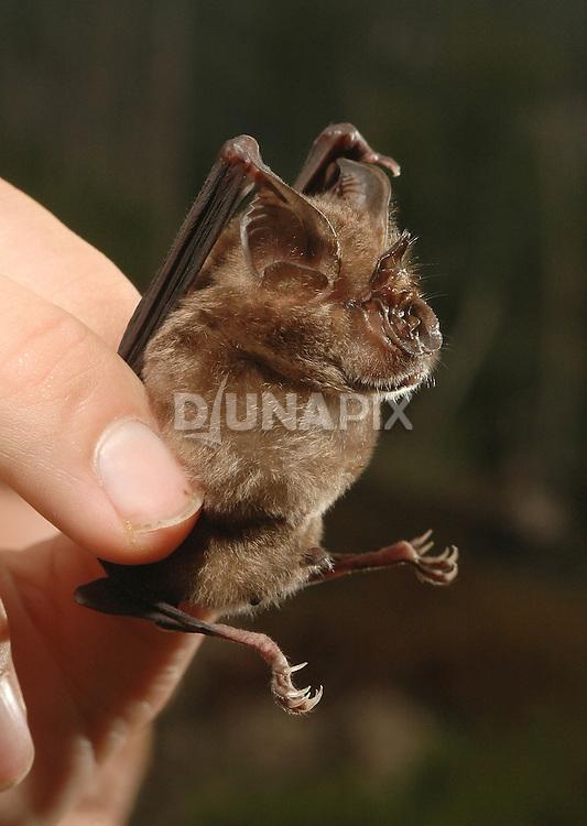 A handsome specimen of Creagh's Horseshoe Bat (Rhinolophus creaghi) captured and released near Lake Tebo on the Sangkulirang karst Rapid Ecological Assessment.