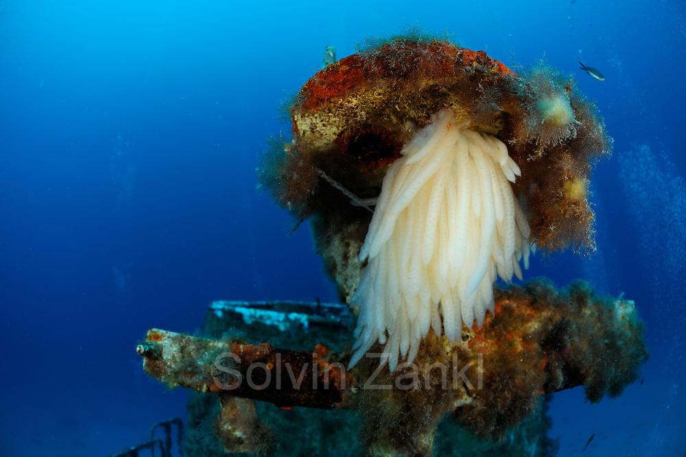 European squid (Loligo vulgaris) eggs at P29 patrol boat, which was originally built by Peene Werft ship yard as a minesweeper for the German naivy.  Ċirkewwa, Gozo, Malta | Langflossenkalmar-Eier (Loligo vulgaris)