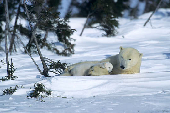 Polar Bear, (Ursus maritimus) Mother with very young cub resting. Wapusk National Park near Churchill, Manitoba. Canada.