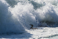 A juvenile Cape Gannet gets tumbled by powerful waves during its maiden swim, Malgas Island, West Coast National Park, Western Cape, South Africa