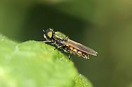 soldier fly<br /> Chloromyia formosa