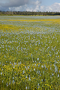 Blue camas flowers (Camassia quamash) and yellow western buttercup (Ranunculus occidental) blooming on Weippe Praire, Idaho. The bulbs of these plants are edible and are a valuable food source for the Nez Perce tribe. On September 20, 1805 the first membe