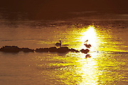 Pelicans on rocks in the middle of the river at sunset...M.S. Johann Strauss, a brand new four star+ river cruiser operated by Austrian River Cruises, and chartered by Club 50 (a travel agency especially for seniors aged 50 and up) undertook an epic 3-week journey (May 21 to June 10, 2004) all the way from Amsterdam to the Black Sea?along Rhine, Main and Danube?, presumably the first passenger vessel ever to have done so. This is one of the images recorded during this historic voyage.