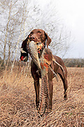 German Shorthair Pointer, Luna, (GAFC, FC, AFC Tjust Lucky Three Spot  X  FC Essergreif's Bella Luna) holds a rooster pheasant she retrieved during a hunt in Minnesota. John Zeman hunts pheasants with his GSP Luna