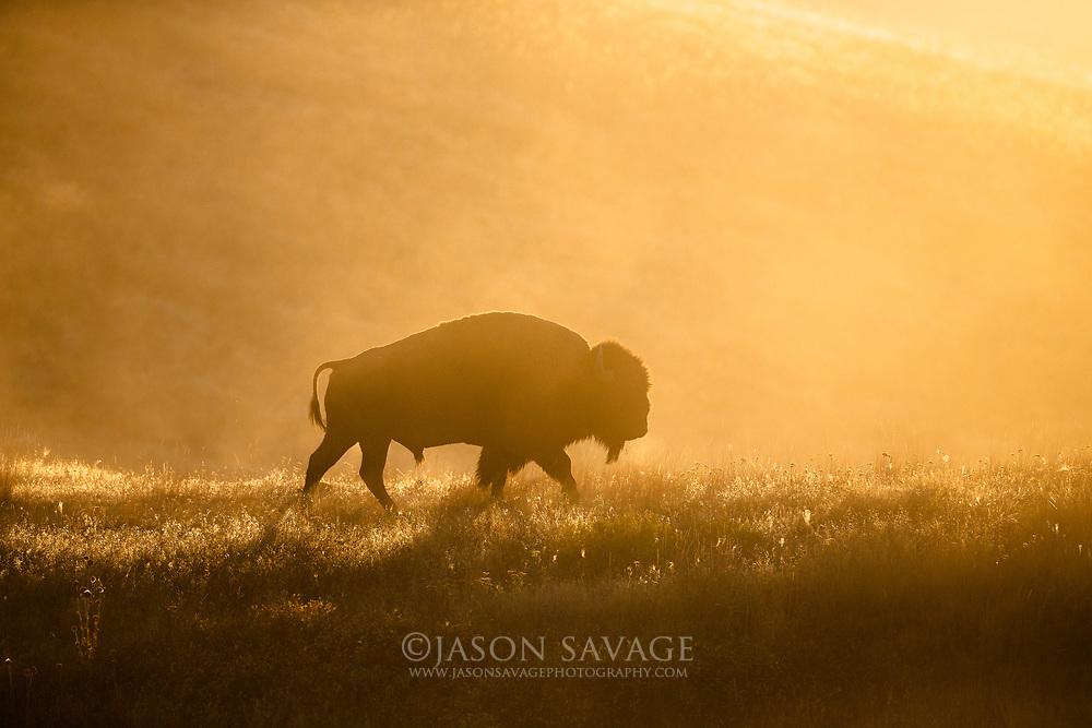 Bison at Montana's National Bison Range.