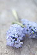 Blue hyacinths on wooden table