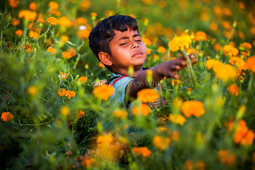 1st April 2014, Shakarpur, New Delhi, India. Ravi Kumari (9) picks marigolds in the afternoon on land his parents rent on the Yamuna Bank, New Delhi, India on the 1st April 2014. Kumar is one of the regular pupils who attends a makeshift school under a metro bridge nearby.<br /> <br /> Rajesh Kumar Sharma (born 01/02/1970), started this makeshift school in 2011. Six mornings a week he teaches underprivileged children for three hours while his younger brother replaces him at his general store in Shakarpur. His students are children of labourers, rickshaw-pullers and farm workers. This is the 3rd site he has used to teach under privileged children in the city, he began in 1997. <br /> <br /> PHOTOGRAPH BY AND COPYRIGHT OF SIMON DE TREY-WHITE<br /> + 91 98103 99809<br /> email: simon@simondetreywhite.com<br /> photographer in delhi<br /> journalist