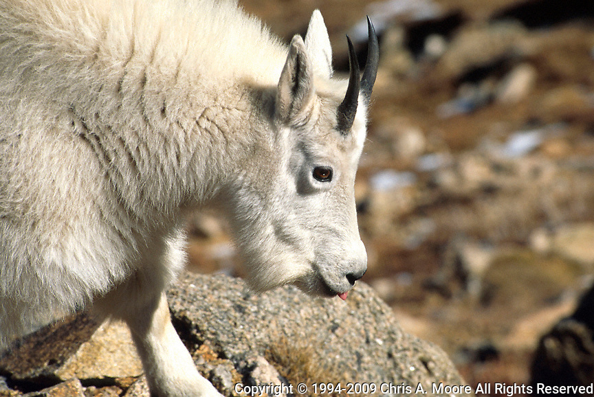 A young Rocky Mountain Goat near Mt Evans, Colorado. Septmber 1994,