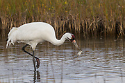Whooping crane, feeding, marsh, Aransas National Wildlife Refuge, Texas, winter