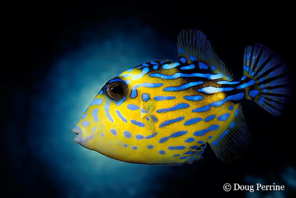 juvenile blue triggerfish, Pseudobalistes fuscus (c), Thailand