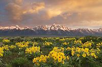Sunrise over the Teton Range from wildflower meadows of Antelope Flats, Grand Teton National Park Wyoming