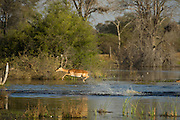 Impala (Aepyceros melampus) running through water<br /> Moremi Game Reserve, Okavango Delta<br /> BOTSWANA<br /> HABITAT & RANGE: Savannas and thick bushveld in Kenya, Tanzania, Swaziland, Mozambique, northern Namibia, Botswana, Zambia, Zimbabwe, southern Angola, northeastern South Africa and Uganda