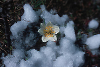 Western Wood Anemone (Anemone occidentalis), Banff National park, <br /> Alberta, Canada   Photo: Peter Llewellyn