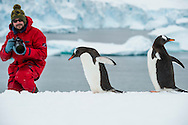 Tourist photographing Gentoo penguins, Pygoscelis papua, Cuverville Island, Antarctica