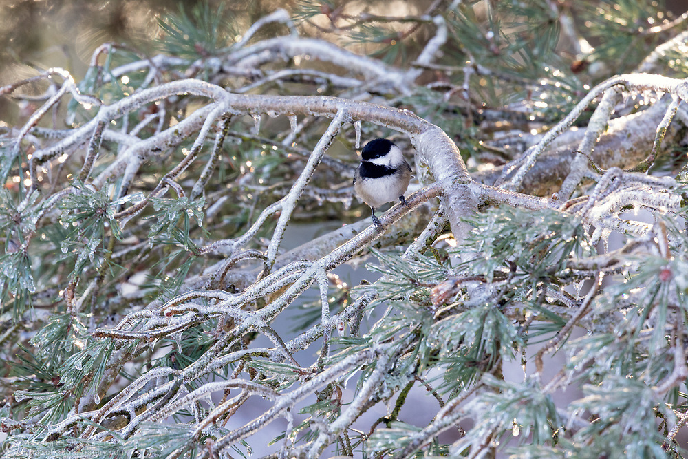 A Black-capped Chickadee (Poecile atricapillus) perched on an ice covered pine branch after an ice storm (freezing rain) in the Fraser Valley of British Columbia, Canada.