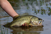 ANGLER RELEASING A LARGEMOUTH BASS BACK TO THE WATER