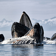 Humpback whales (Megaptera novaeangliae) rising up out of the water after creating a bubble-net to herd and catch herring in a cooperative manner. Photographed in Alaska.