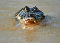Yacare Caiman (Caiman yacare), Araras Ecolodge,  Mato Grosso, Brazil (Photo: Peter Llewellyn)