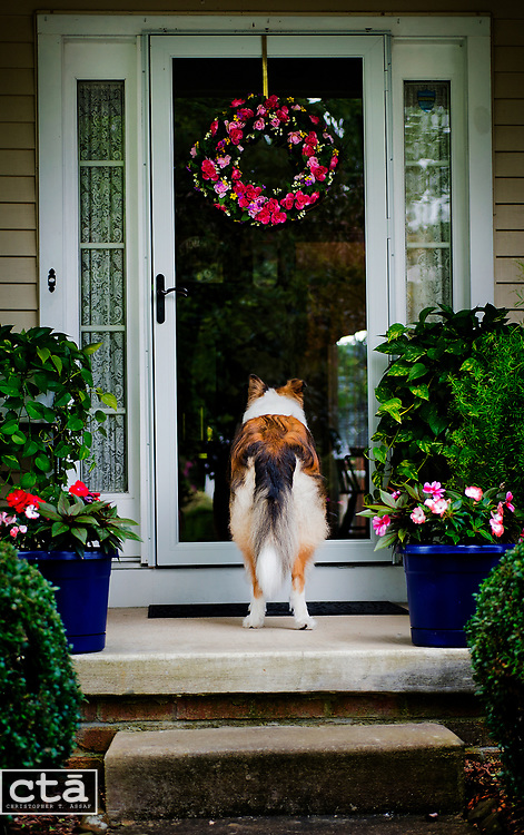"Max, a 6- or 7-year-old Rough Collie, waits for owner Sue Roberts to return from inside her Bel Air home. ""He is so good with people, and loves everybody,"" Sue said. ""And he follows me everywhere."" this mean Max stares through the door, waiting patiently, as his owner slips briefly inside."
