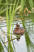 Horned Grebe with chick on back Frontal view vertical