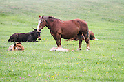 Horses grazing in a green meadow