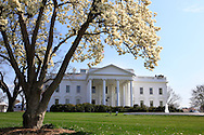 The magnolia trees in bloom on the North Lawn of the White House on april 8, 2013, Photograph by Dennis Brack