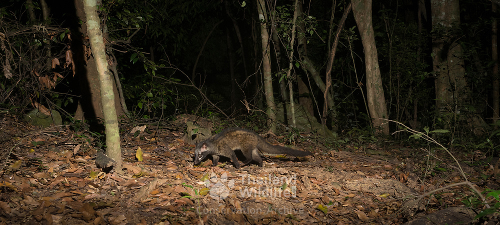 The Asian palm civet (Paradoxurus hermaphroditus), also called the toddy cat, is a small member of the family Viverridae native to South and Southeast Asia.