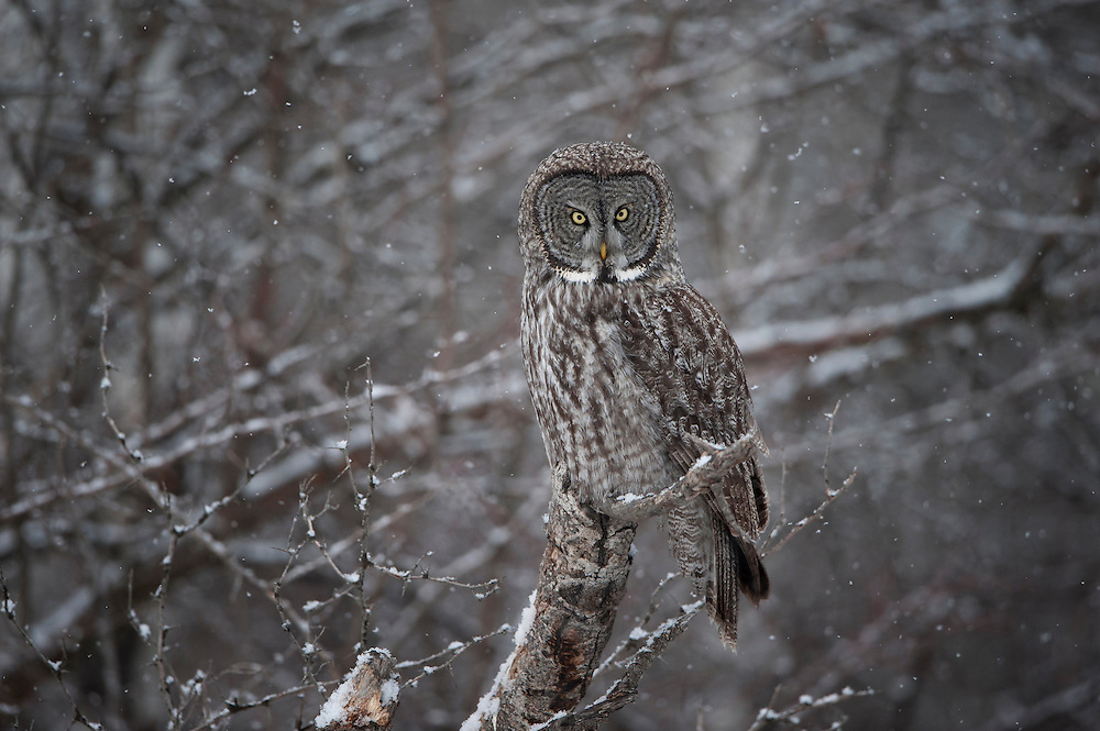 Great Gray Owl (Strix nebulosa), Missoula, Montana