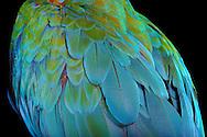 Torso of a hybrid of crimson macaw [Ara chloroptera]) and blue and gold macaw [Ara ararauna] (Ara ararauna). The plumage of the breast is orange-yellow, the wings are coloured green-blue coloured. He belongs to the family of the authentics parrots (Psittacidae) and is one of the largest parrots in the world, head-to caudal length is approx 92 cm. It is characterized by its bright multi-color. Sex determination on the basis of plumage color is impossible. Home are the tropical forests of South America. Photographed at Parrot Park Bochum. / Torso eines Hybriden aus Dunkelrotem Ara (Ara chloroptera) und Gelbbrust-Ara (Ara ararauna). Das Gefieder der Brust ist orange-gelb, die Fluegel sind gruen-blau gefaerbt.  Er gehoert zur Familie der Eigentlichen Papageien (Psittacidae) und ist einer der groessten Papageien der Welt, Kopf- Schwanzlaenge betraegt ca. 92 cm. Er zeichnet sich, wie viele Papageienarten, durch seine leuchtende Mehrfarbigkeit aus. Keine Geschlechterbestimmung anhand der Gefiederfarbe moeglich.Heimat sind die Tropenwaelder Suedamerikas. Fotografiert im Papageienpark Bochum.