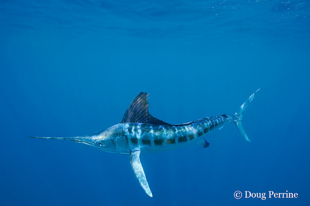 white marlin, Tetrapturus albidus, off Yucatan Peninsula, Mexico ( Caribbean Sea )