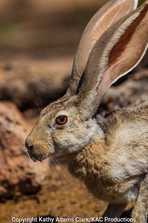 Antelope jackrabbit; Lepus alleni; Sonoran Desert; Arizona, Summer